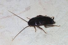 220px-Cockroach_May_2007-1