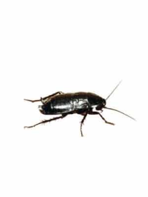 eliminacion de cucaracha negra